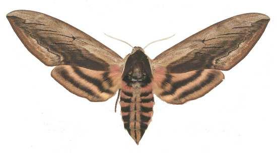 Sphinx ligustri femelle