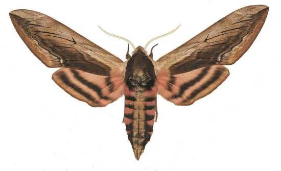Sphinx ligustri mâle