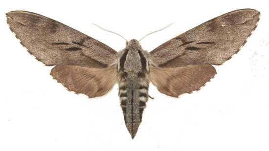 Sphinx maurorum femelle