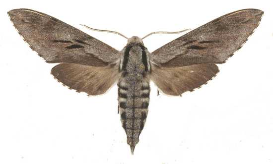 Sphinx maurorum mâle