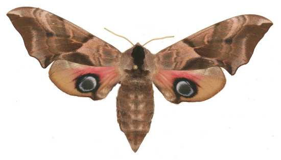 Smerinthus ocellata femelle