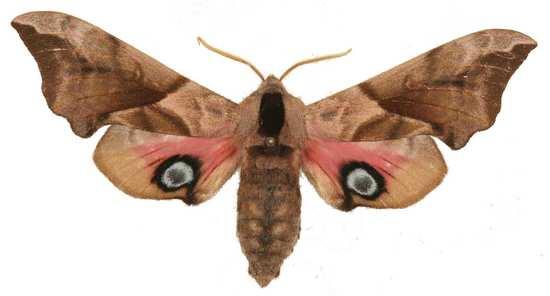 Smerinthus ocellata mâle