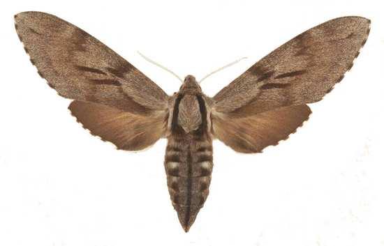 Sphinx pinastri femelle
