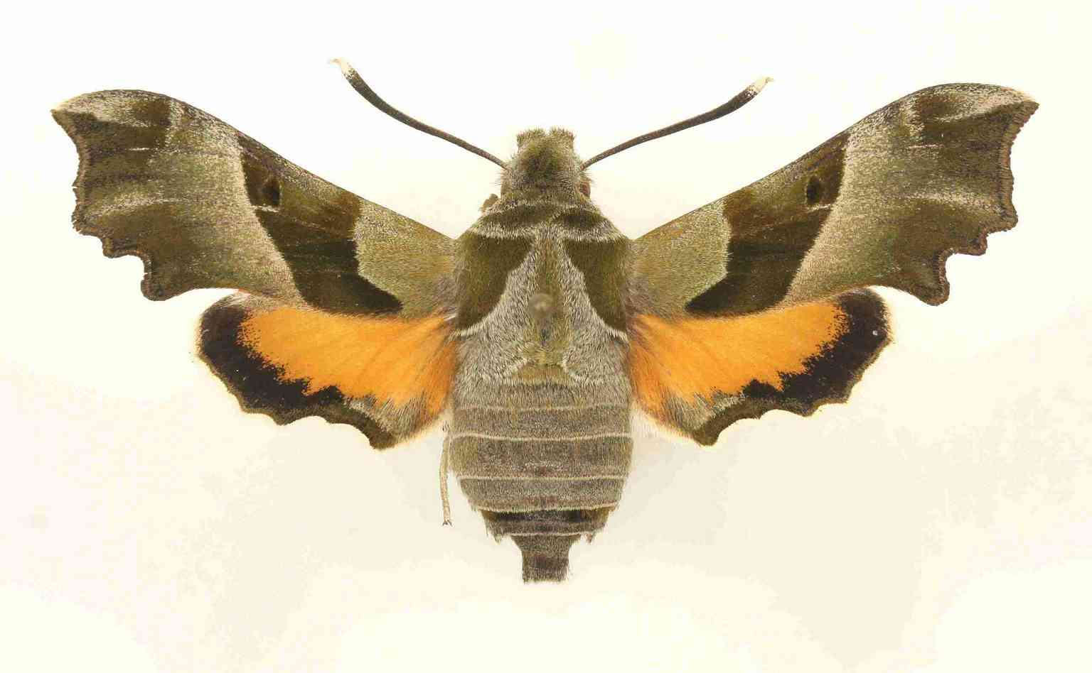 Proserpinus proserpina imago femelle