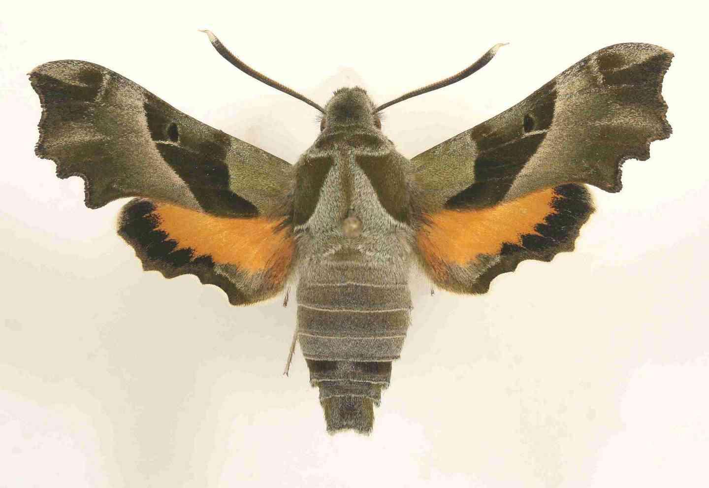 Proserpinus proserpina imago male
