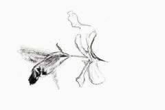Macroglossum stellatarum vu par Pierre Baumgart
